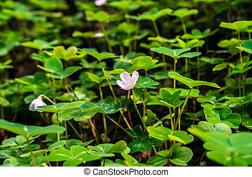 Redwood sorrel flower and leaves (Oxalis oregana) in the forests of Santa Cruz mountains, San Francisco bay area, California