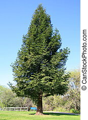 Lone redwood tree in a park over blue sky.