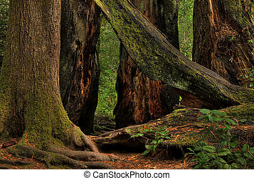Redwood Trees 0217. Giant redwood trees in a California...