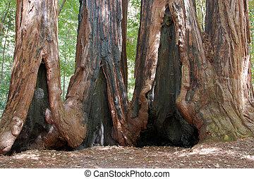 Redwood trees - California coastal redwood trees