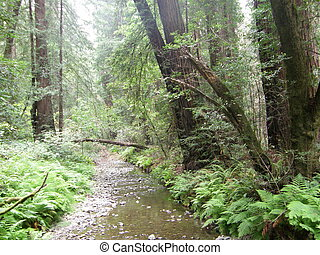Redwood Trees - Giant Redwood Sequoia Trees at Muir Woods in...