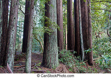 Redwood Trees Marin County California - A group of Redwoods ...