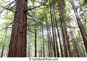 Redwood trees - Tree trunks in Redwood forest