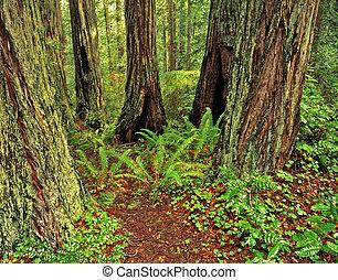 RedwoodForest3