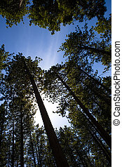 Redwoods and sky - redwood