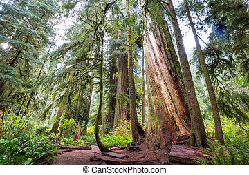 Redwood trees in Northern California forest, USA