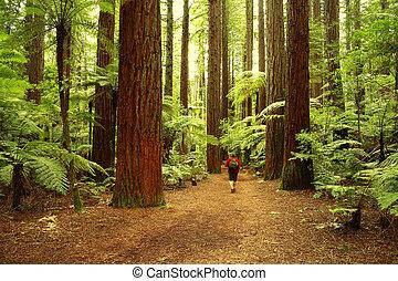 Redwoods - Tramper in redwood forest