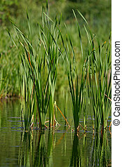 reed (1)