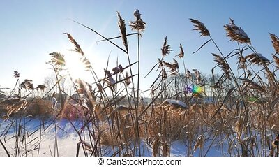 Reed against the background of the winter sky against backlight. Slider