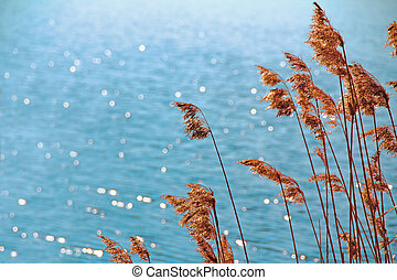 reed against the background of water