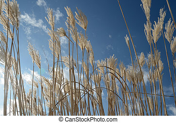 reed against the blue sky, horizontal