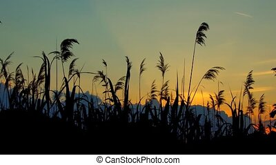 Reed against the sunset