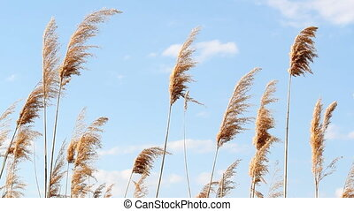 reed and blue sky nature background