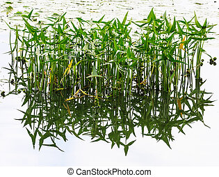 Reed and reflection in calm water