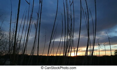 Reed at a lakeside sunset