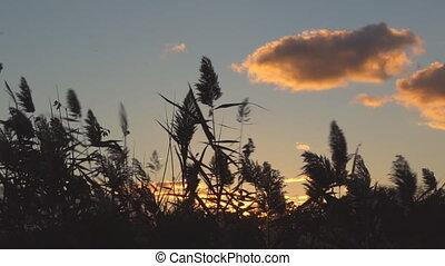 Reed at Sunset, Close Up sunset sky cane