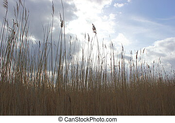 Reed at the river Ryck in Mecklenburg-Vorpommern, Germany.