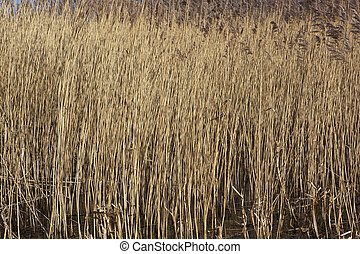 reed background - background image of golden reed bed with...