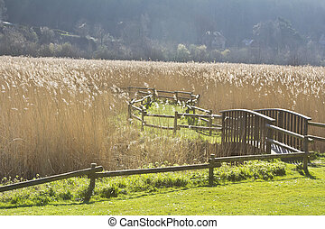 Reed Bed - A path winding its way through a reed bed