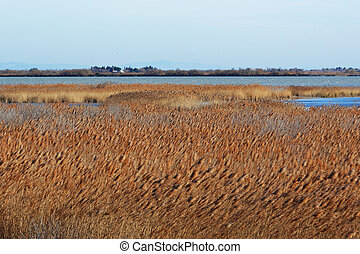 """Reed bed in """"Camargue"""", region of the south-east of France,..."""