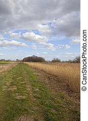 reed bed in springtime - a canal towpath in april yorkshire...