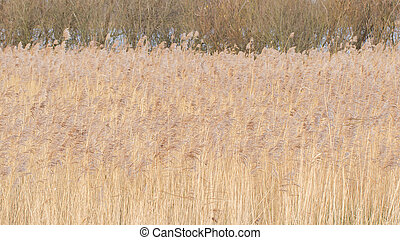 Reed bed in the Netherlands, waving in the wind, selective...