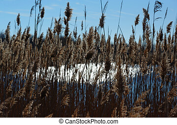 Reed bed in the south east of France