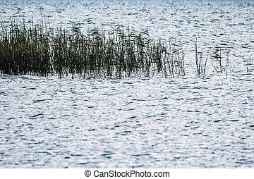 Reed Beds in Evening Sun - Reed beds in evening sun at Lake...