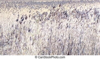 Reed beds - Swaying in the wind reeds