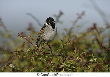 Reed bunting, Emberiza schoeniclus, single male on branch,...