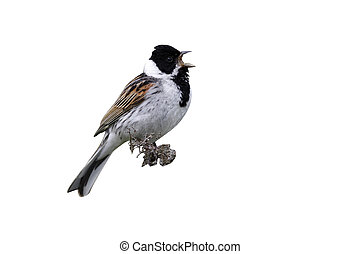 Reed bunting, Emberiza schoeniclus, single male singing on...