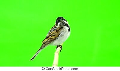 reed bunting (Emberiza schoenilus) - reed bunting( Emberiza...