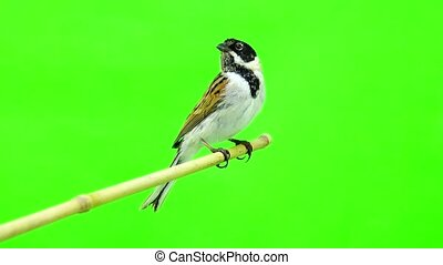reed bunting (Emberiza schoenilus)
