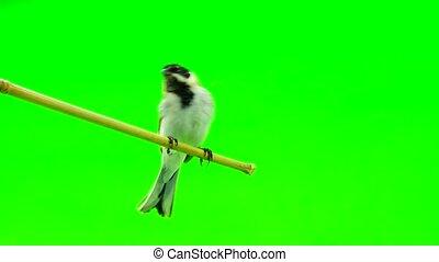 reed bunting (Emberiza schoeni?lus) - reed bunting( Emberiza...