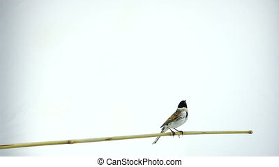 reed  bunting - slow-motion shot of a bird reed  bunting