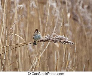 Reed Bunting on Reed - Female Reed Bunting on reed at edge...