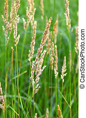 Reed Canary Grass (Phalaris arundinacea) grows thickly in a...