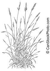 Reed Canary Grass - Phalaris arundinacea