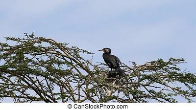 Reed Cormorant or Long-Tailed Cormorant, phalacrocorax...