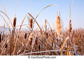 Reed Covered With Ice In The Winter Time