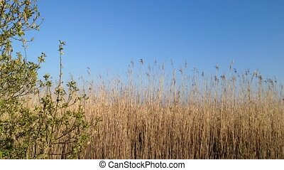 Reed fields blown by the wind. Spring scene