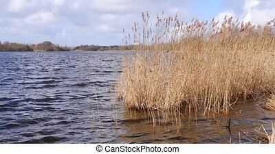Reed growing in a lake moved by storm