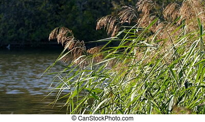 Reed in autumn against the blue pond