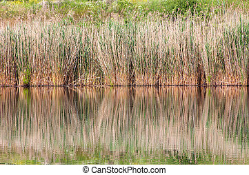 Reed in the lake