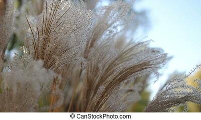reed in the rays of  sun closeup