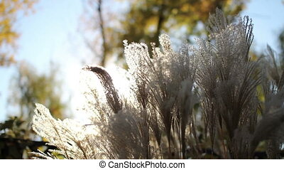 reed in the rays of  sun