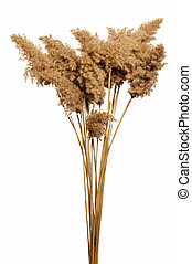 Reed in white background