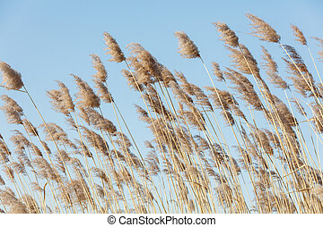 reed in winter