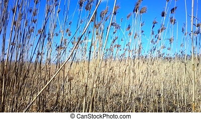 Reed marshes - swaying reeds. Spring
