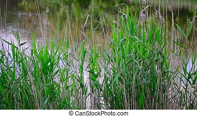Reed near the lake or river - Waving green reed and water...